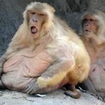 Nueva droga experimental logra que monos obesos se queden flacos, y podría funcionar con humanos.